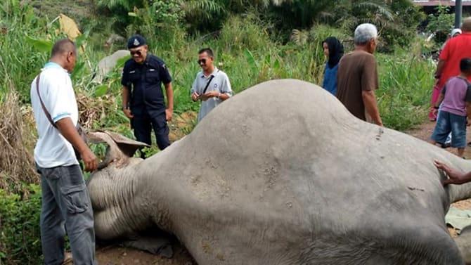 Three elephants found poisoned in Malaysia's Johor
